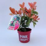 photinia-serratifolia-pink-crispy-1-1.jpg