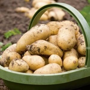 Your own New Potatoes for Christmas