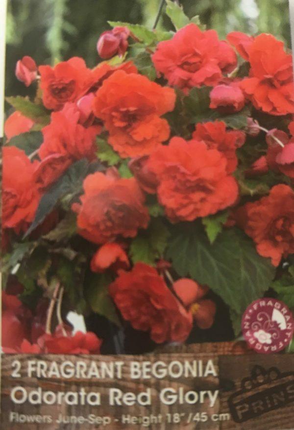 Begonia-Red-glory.jpg