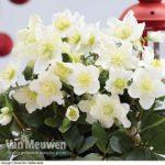 Buy Helleborus Christmas Rose Online