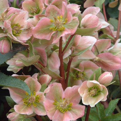 Helleborus Pink Beauty