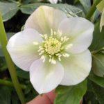 Buy Helleborus Pretty Ellen White Online