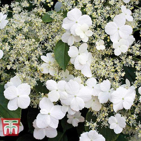 Hydrangea-Petiolaris.jpg