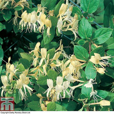 Buy Honeysuckle japonica 'Halliana' Online