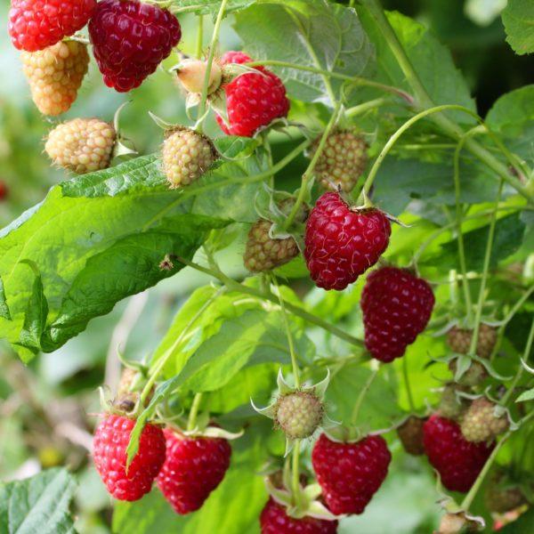 Buy Raspberry Malling Promise Online