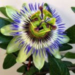 Passiflora-caerulea-2L.jpg