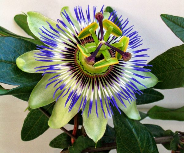 Buy Passiflora Caerulea Online