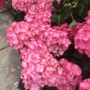 Summer Flowering Shrubs
