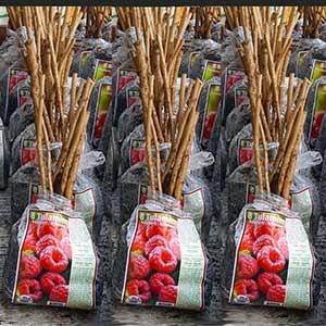 Buy Tulameen Raspberries Online