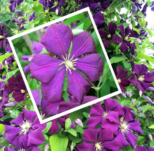 Buy Clematis viticella Etoile Violette Online