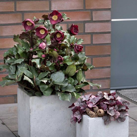 Buy Helleborus 'Ice n Roses' Barolo Online