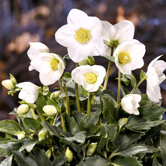 hellebourus-joshua-flowers.jpg