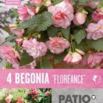 Begonia-Cascade-Florence.jpg