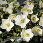 Buy Helleborus INR White Online