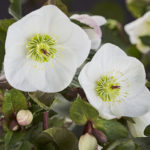 Helleborus-ice_n_roses_bianco.jpg