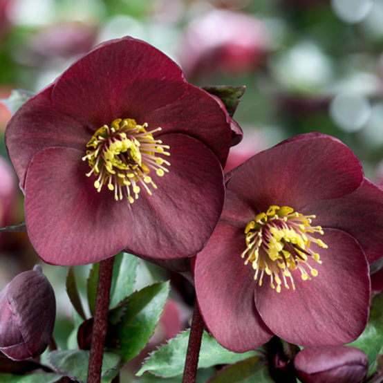 Buy Helleborus 'Ice n Roses' Brunello Online