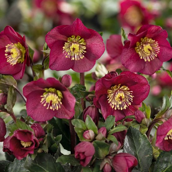 Buy Helleborus 'Ice n Roses' Bennotta Online