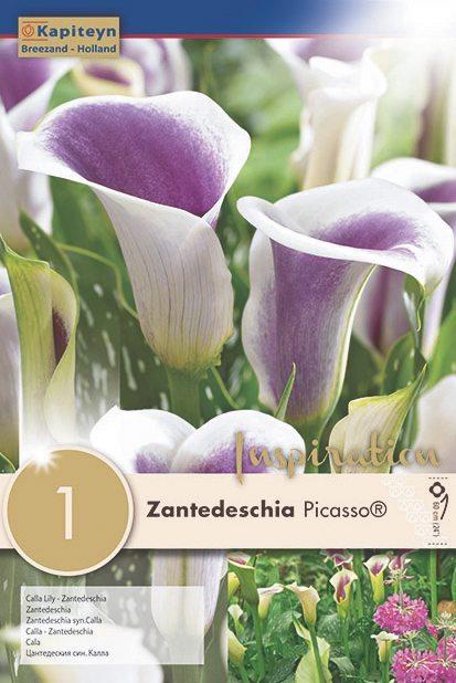 Buy Zantedeschia Picasso Online