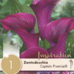 Zantedeschia-Captain-Promise.jpg