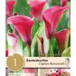 Zantedeschia-Captain-Romance.jpg