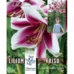 lilium-friso.jpg