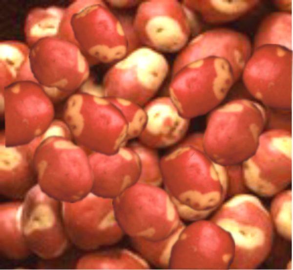 seed-pot-apache-2.jpg