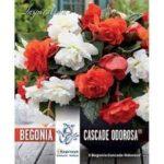 Begonia-Cascade-Odorosa.jpg