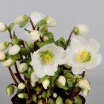 Buy Helleborus Verboom Beauty Online