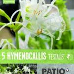 Hymenocallis-Festails-.jpg