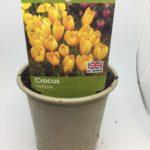 Buy Hyacinth City of Haarlem Online