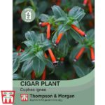 cigar-plant.jpg