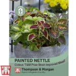 painted-Nettle.jpg