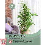 weeping-fig-seeds.jpg