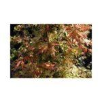 Buy Acer palmatum 'Katsura' Online