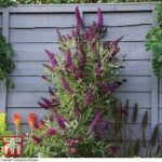 Buy Buddleia Butterfly Tower Online