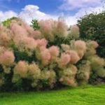 Buy Cotinus coggygria 'Young Lady' Online