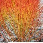 Buy Cornus Sanguinea Winter Beauty Online