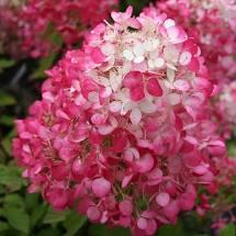 Buy Hydrangea Paniculata Diamant Rouge Online