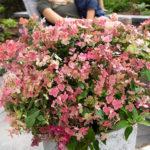 Buy Hydrangea Paniculata Switch Ophelia Online