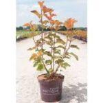 Buy Physocarpus Opulus Amber Jubilee Online