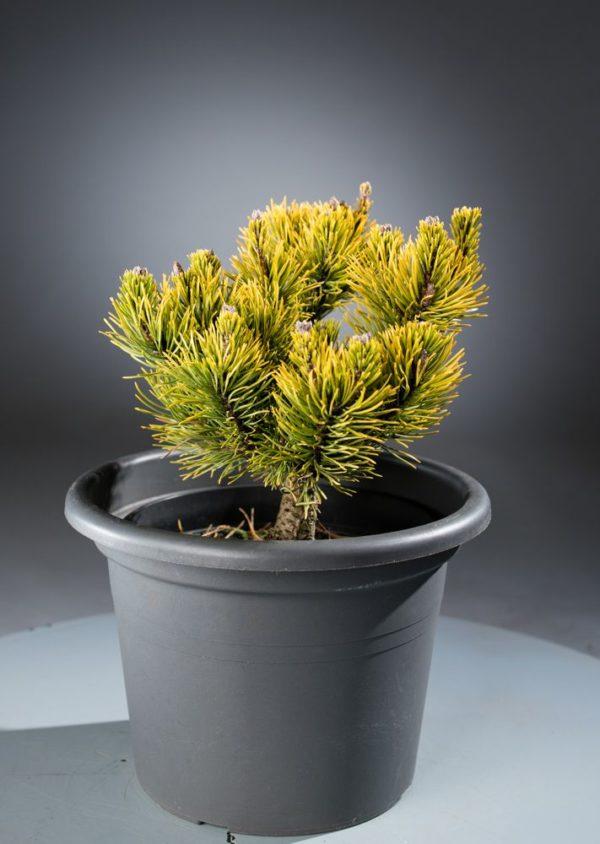Buy Pinus mugo Carstens Wintergold Online