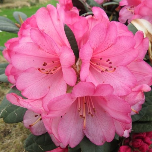 Buy Rhododendron Wine & Roses Online