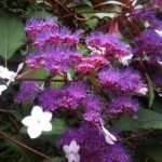 Buy Hydrangea Aspera Rosemary Foster Online
