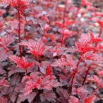 Buy Physocarpus 'Lady in Red' Online