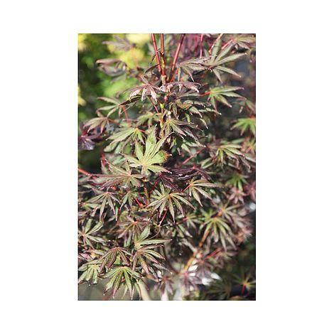 Buy Acer palmatum 'Trompenburg' Online
