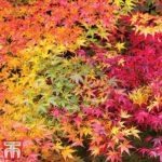 Buy Acer palmatum 'Atropurpureum' Online