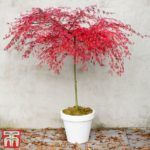 Buy Acer 'Emerald Lace' Online
