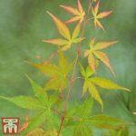 Buy Acer palmatum 'Sango-kaku' Online