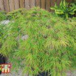 Buy Acer palmatum 'Seiryu' Online