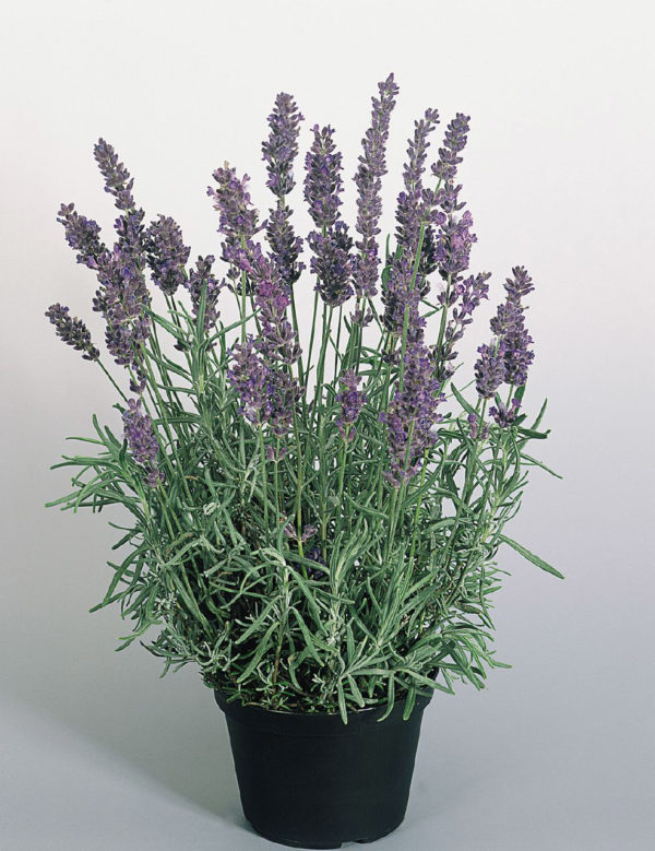 Buy Lavender 'Dwarf Blue' Online
